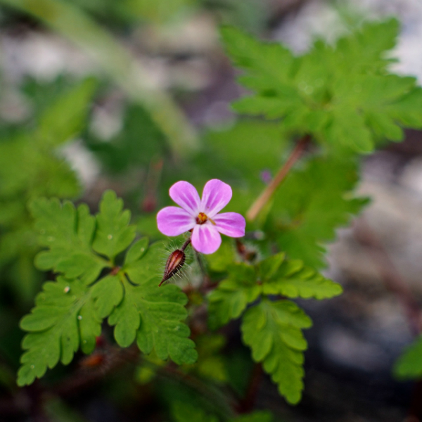 Herb Robert Geranium robertianum Sheffield June 2013