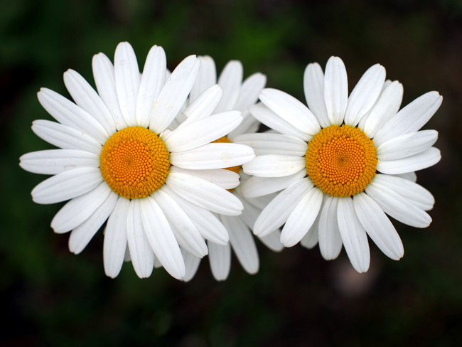 Oxeye Daisies.  Sheffield 2013