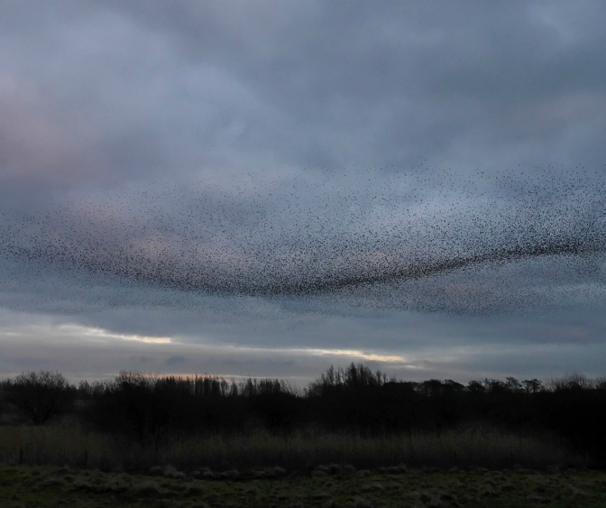 Murmuration: Starling Murmuration. Derbyshire 22012014