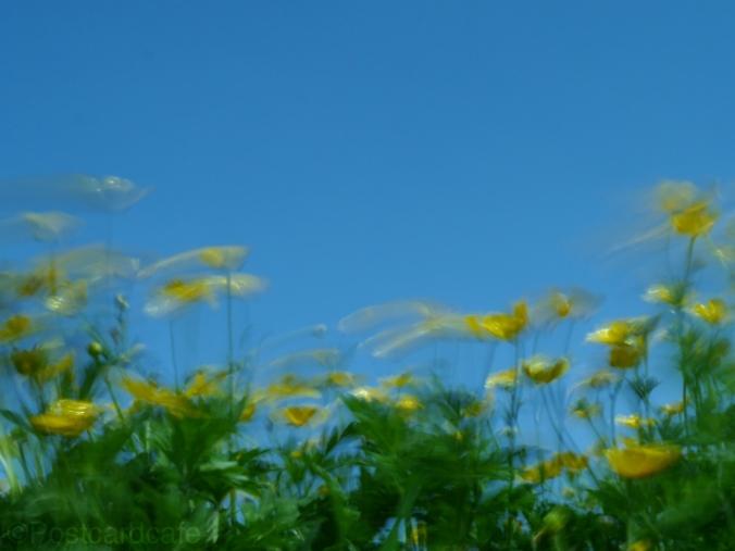 Buttercups - Summer Breeze Sheffield 2014