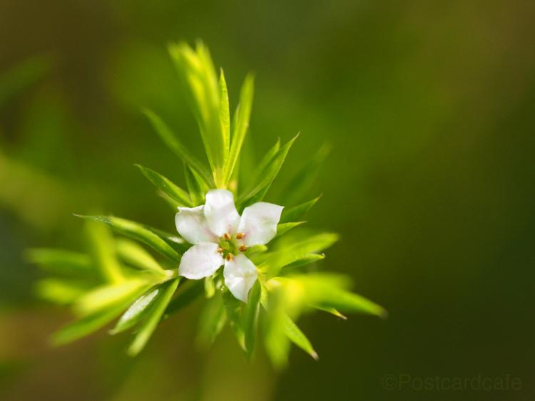 Unknown Flower?