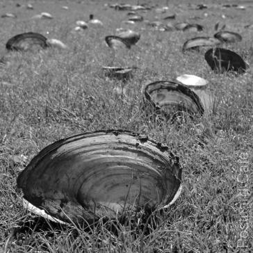 4. Abbeydale Industrial Hamlet Mill Pond - Swan Mussel Shells