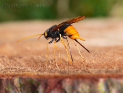 3. Wood Wasp - Urocerus Gigas - Peak District 2015