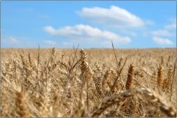 Wheat Field | Sheffield | 25 August 2016 | © Postcard Cafe