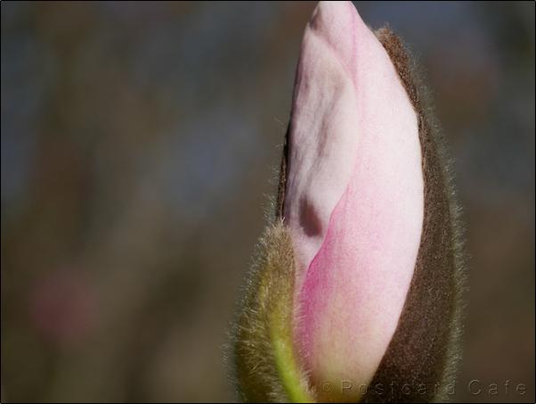4. Magnolia | Spring 2017 | Sheffield Botanical Gardens | © Postcard Cafe
