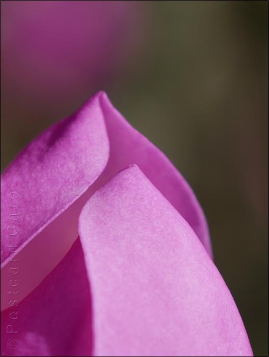 1. Magnolia     Botanical Gardens Sheffield    21 March 2017     © Postcard Cafe