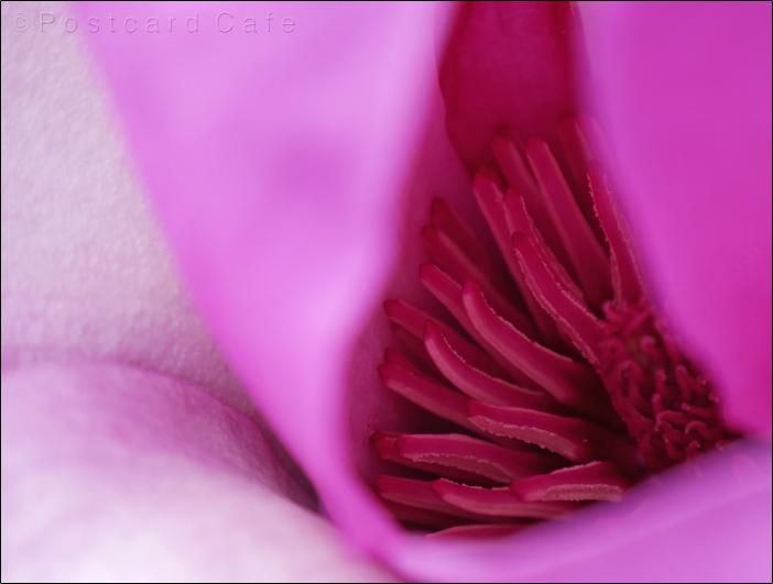 4. Magnolia  |  Botanical Gardens Sheffield |  21 March 2017  |  © Postcard Cafe