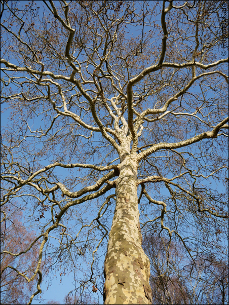 4. London Plane Tree | Platanus x hispanica | © Postcard Cafe 2018 | SP1000024