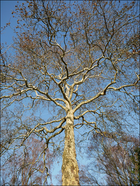 8. London Plane Tree | Platanus x hispanica | © Postcard Cafe 2018 | SP1000031