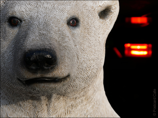 Polar Bear having a warm   © Postcard Cafe 2018   SP1000086E