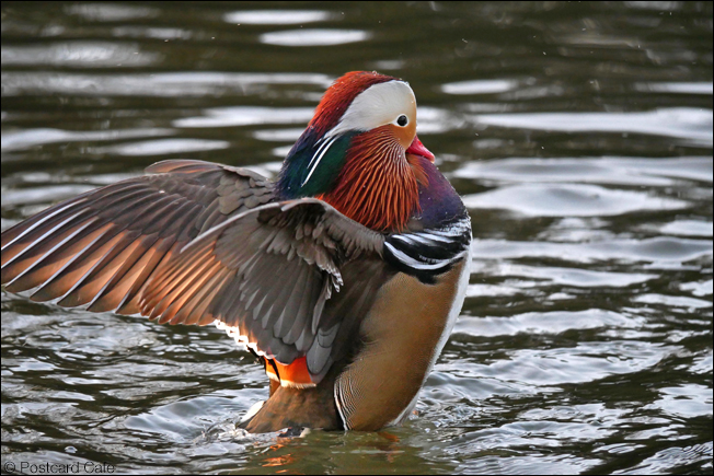 3. Mandarin Ducks Volume 4 | Wire Mill Dam Sheffield 2019 | © Postcard Cafe |  SP1010802E